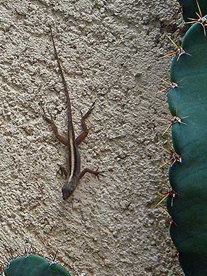 lizard in back yard