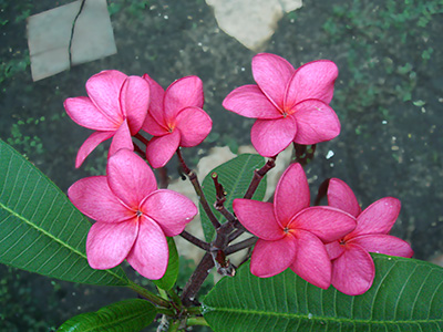 red plumeria flowers